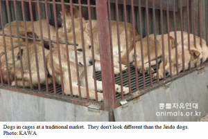Jindo dogs sold at dog meat markets.
