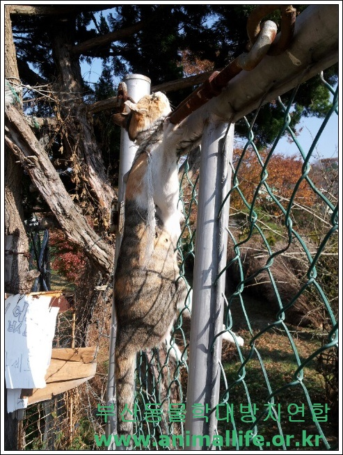 Busan Geum Jeong Cat Hanging On A Barbed Wire Fence