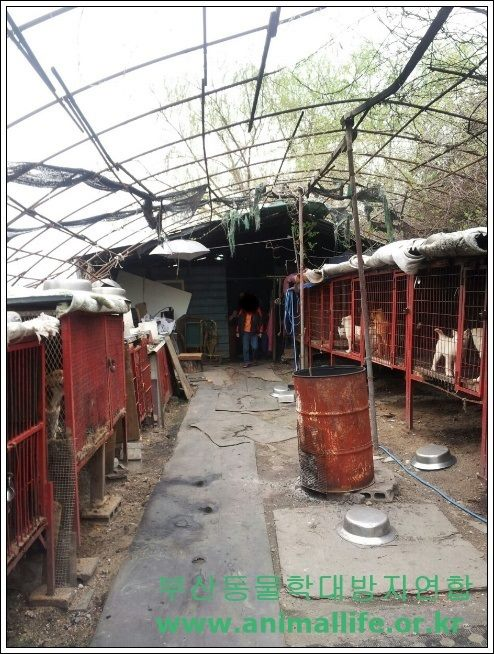 A roadside dog slaughterhouse in Bansong, Busan raided and charged! Case turned over to the Prosecutor's Office for possible indictment!