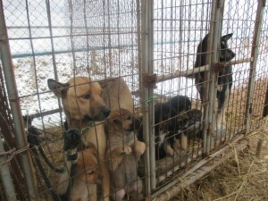 Meat Dog Farm in Goyang City near Seoul  (Source: Nami Kim. https://www.facebook.com/savekoreandogs)
