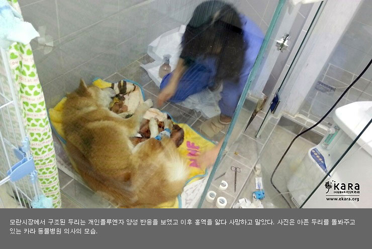 The Moran market rescue, Duri, was diagnosed with dog influenza and suffered from canine distemper before passing.  Photo is KARA's veterinarian treating Duri.