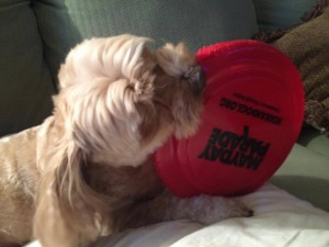 This is Summer with her favorite toy, a KD Frisbee. Sally gave it to her friend Melissa Farley who is Summer's guardian. Summer brings the Frisbee to everyone and drops it in their laps. She is raising awareness on behalf of the dogs who are being tortured. WAY TO GO, SUMMER!