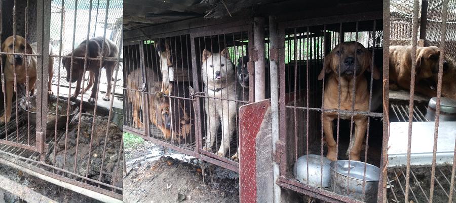 Hundefarm i Yongdang, Yangsan, Sydkorea.  Foto: SaveKoreanDogs.org