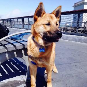 Jindo Gae(means dog in Korean) Milo.