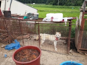 Dogs live in fears of death every day in an abandoned meat dog-breeding farm. A lonely dog is tied up next to a carcass of another dog. The food provided is decomposed food garbage.