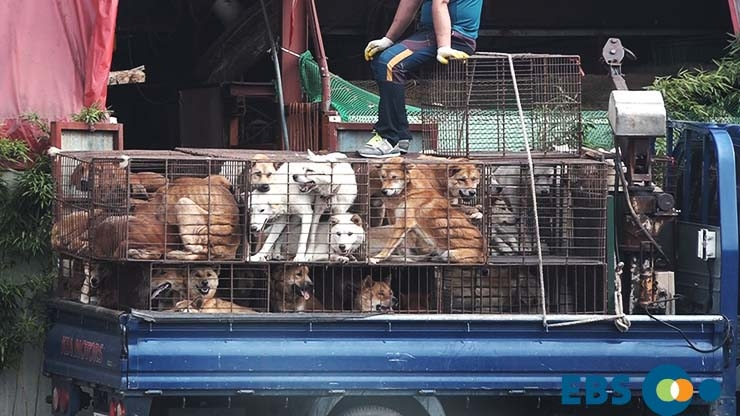 The-horrible-reality-of-dog-meat-farms-that-you-don't-know-Dogs-on-truck