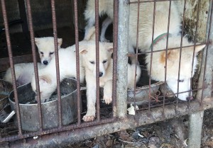 Photo:  SaveKoreanDogs.org.  Dog farm in South Korea.