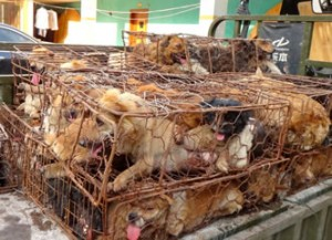 Yulin dog meat festival2